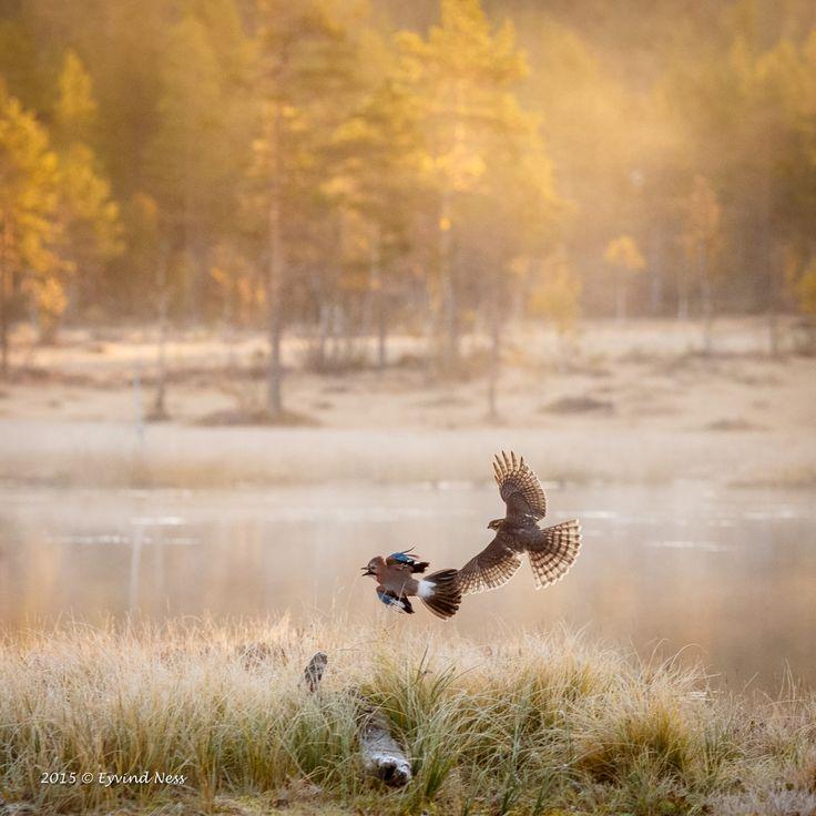 - Dette gir litt inntrykk av den flotte stemningen vi hadde om morgen tidlig i oktober. Med sola som skinner på de høstfargede trærne i bakgrunnen og tåkedisen over vannet. Samtidig som spurvehauken velvillig stilte til portretter og jagde nøtteskrikene rundt omkring i kulissene ved vannet. Uforglemmelige timer!, forteller Eyvind Ness.
