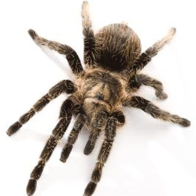 Spiders are invertebrates, meaning they have no internal bone skeleton.
