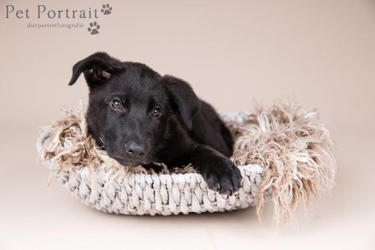 Hondenfotografie Hillegom en Heemstede - Duitse Herder pup Wolf-13
