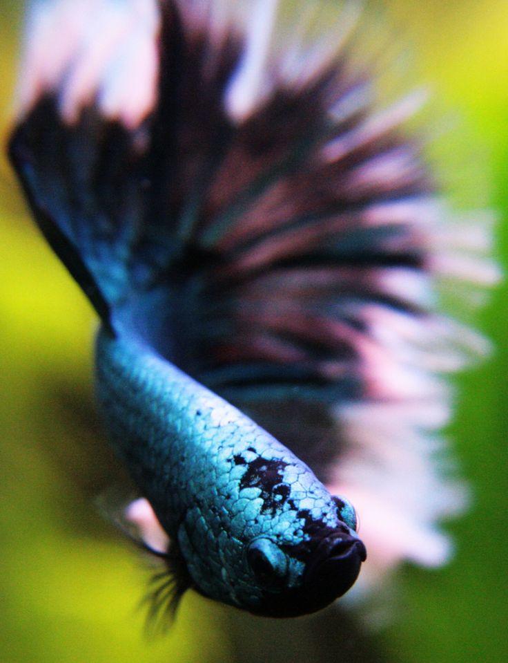 Green Dragon Butterfly -betta