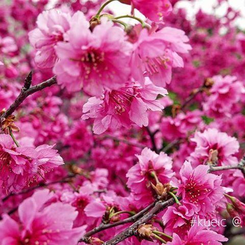 【kueic】さんのInstagramをピンしています。 《【滿滿】  然後,櫻花就爆開了😍  #sakura #flower #pink #taiwan #travel  #kueic #lx100 #桜 #櫻 #台湾 #HsinChu #新竹車站 #HsinChuStation》