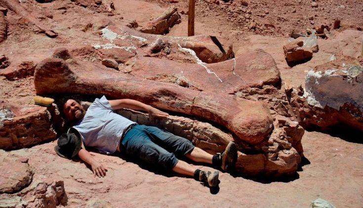 Oberschenkelknochen gegen Mensch. In Argentinien haben Forscher Knochen des größten (?) Dinosauriers aller Zeiten freigelegt. Das Tier war nach Angaben des Paläontologie-Museums Egidio Feruglio (MEF) 40 Meter lang und 80 Tonnen schwer. spiegel-online.de