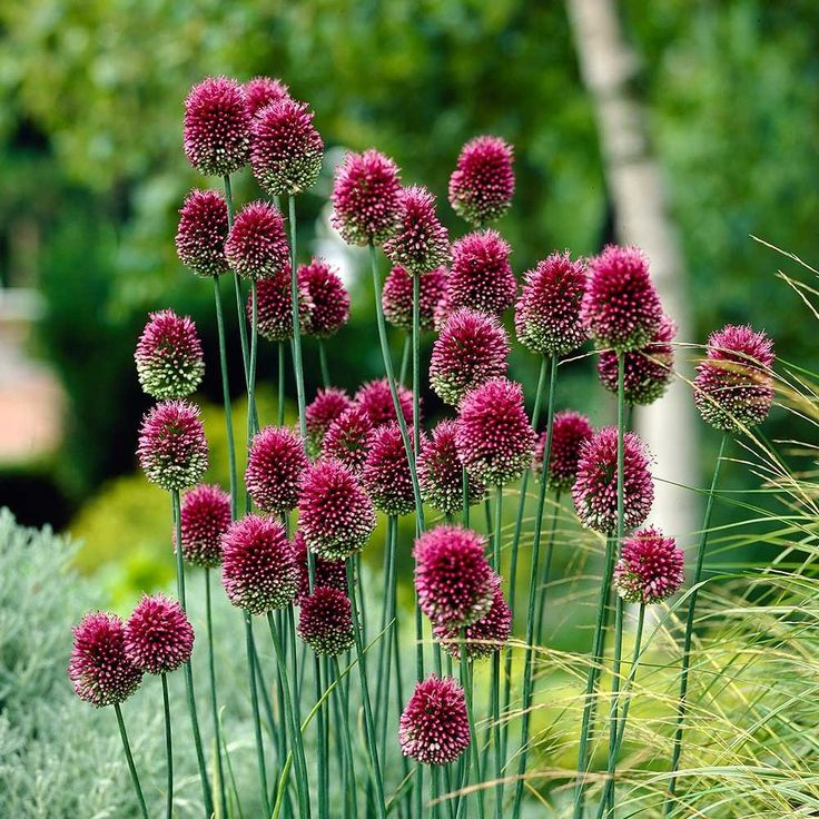 Allium Sphaerocephalon (Drumsticks) Crowded heads of purple-crimson drumsticks, fine for cutting. The flowers open green, then start to turn purple from the top, creating unusual two -tone flower heads. Great when planted with perennials in the border.