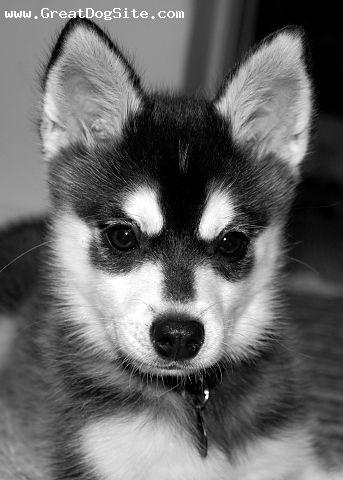 Alaskan Klee Kai - Mini Huskies!
