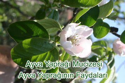 Bitkisel ve Organik Hayat Hakkında İpucları: Ayva Yaprağı Mucizesi ve Faydaları