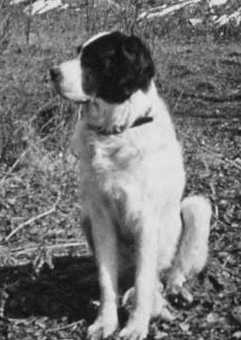 SS liutenant Kurt Franz's dog Barry the Saint Bernard was taught to attack and castrate Jews at the Treblinka extermination camp