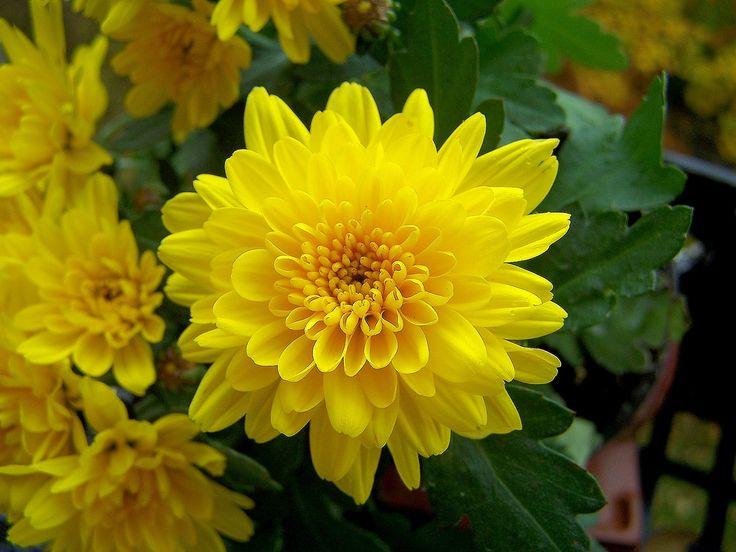 Chrysanth Chrysantheme Chrysanthemum Indicum - cúc vàng thường