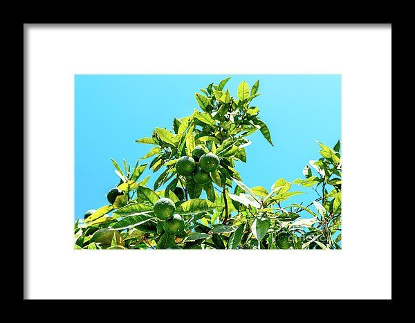 Green Oranges In Orange Tree Framed Print