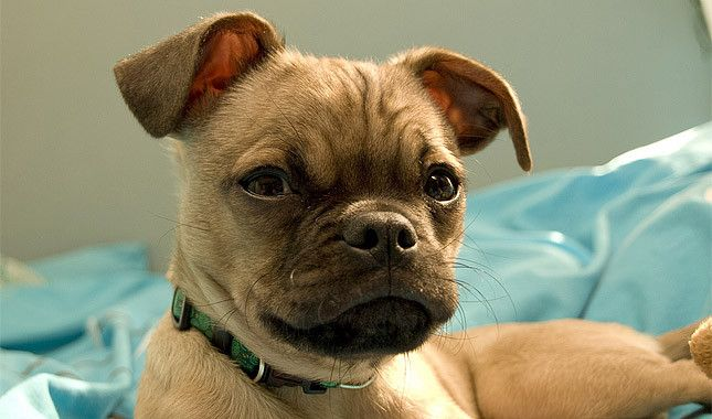 This dog is a cross between a Chihuahua and a Pug. His personality and appearance can vary widely because the two breeds are very different.