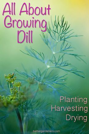 All About Growing Dill Planting Pruning Harvesting 400 x 300
