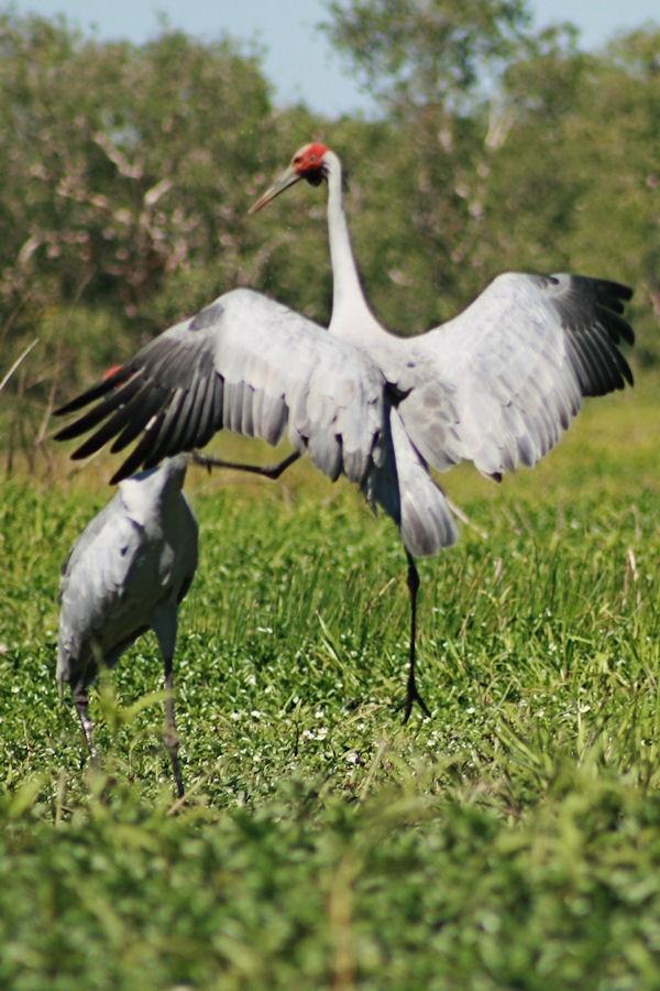 Brolgas Dancing in Kakadu National Park