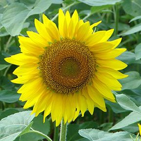 Buttonwood Farm Sunflower Festival in Griswold, Connecticut | Connecticut Lifestyles #ctlifestyles