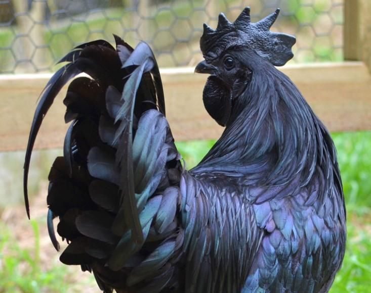 """""""A chicken called the Ayam Cemani. The bird is inky black from the tip of its comb to the end of its claws, with blue-black skin, jet-black eyes, and a black tongue. It is covered in shimmering metallic black feathers, and even its internal organs are black."""""""