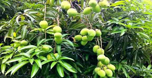 Indian Mangoes are very popular in the world, known as king of fruits. Ghasitaram Gifts gives you best opportunity to buy, order farm fresh Kesar mangoes, Alphonso mangoes online anywhere from India. We are one of the leading Alphonso mango online shopping stores, which offer direct delivery of mangoes. http://www.ghasitaramgifts.com/c/mango/