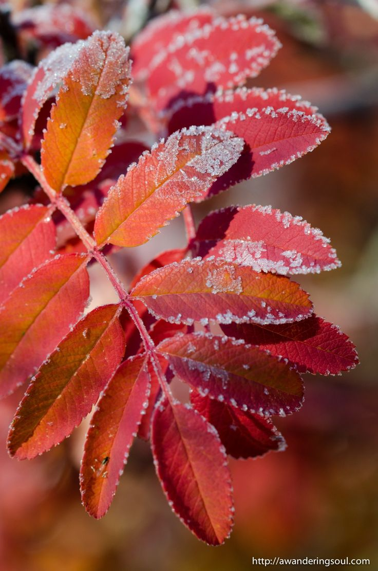 Mountain Ash In Red