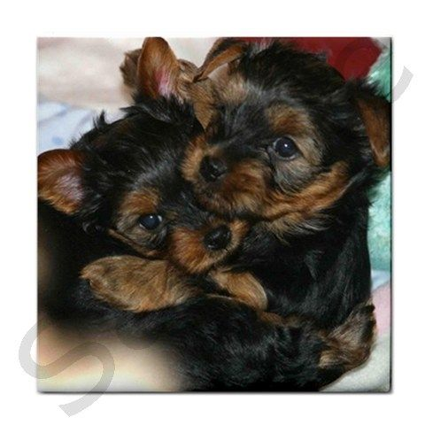 Yorkshire Terrier puppies.  I love their colors.