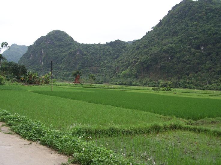 Rice field, Vietnam