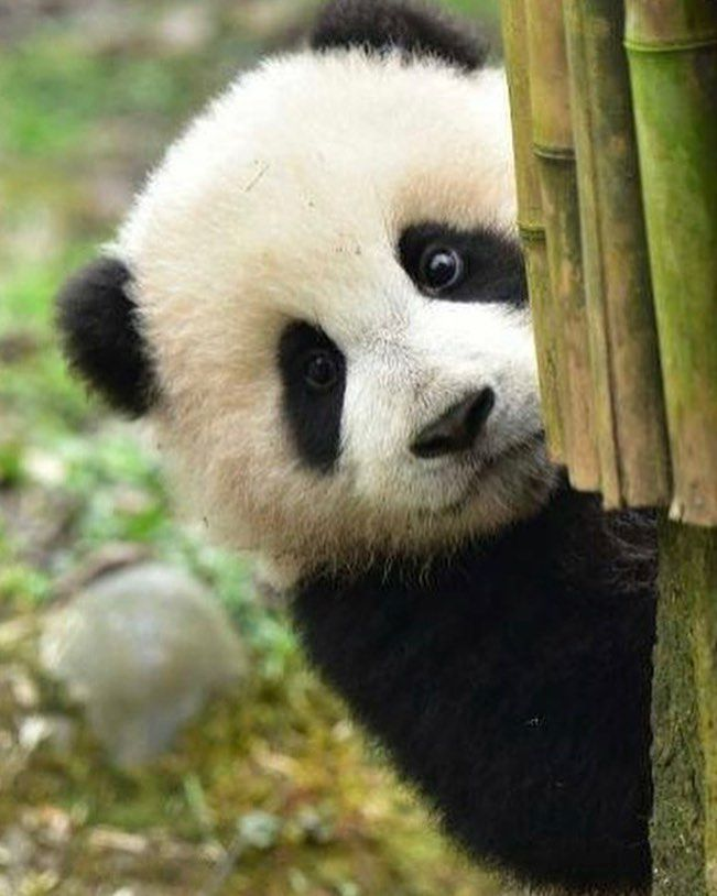 "9,604 次赞、 117 条评论 - Panda Vibes (@panda_vibes) 在 Instagram 发布:""What up hoomans? """