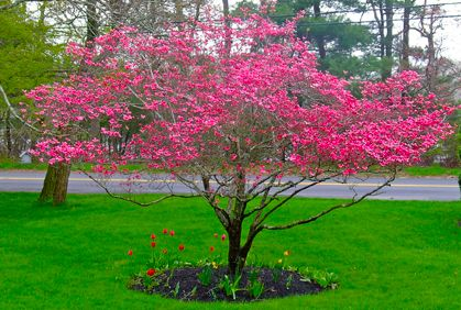 Best Dogwood Trees Types Facts & Pictures of Landscaping Ideas
