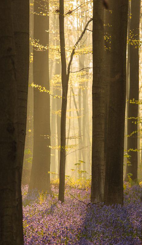 Belgiens blauer Wald - Hallerbos im Frühjahr