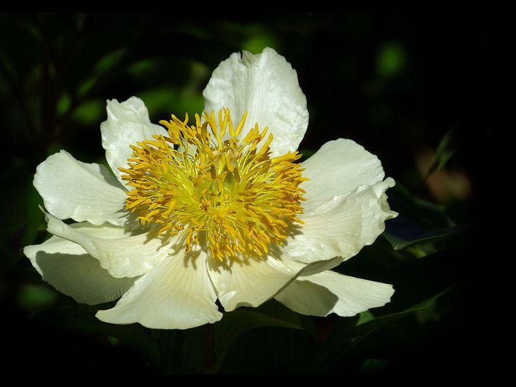 286 best flowers images on pinterest beautiful flowers pretty beautiful white flower with yellow stamen mightylinksfo