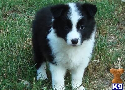 the BORDER COLLIE-  although they have alot of energy, they are SOOOOO worth the energy!!! Not only will you get fit with this breed, but they will stand by you with everything they have, and will sooner die than see you be harmed.: Border Collies, Cuteness, Animal Kingdom, Adorable Animals, Harmed Best Dogs, Baby Border, Animals D