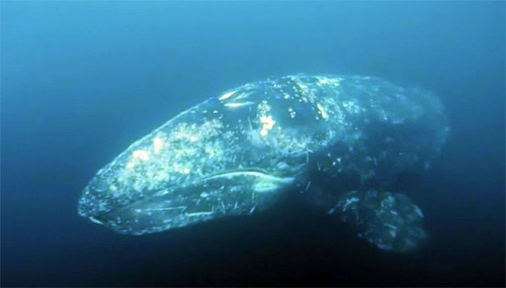 Close Encounter: Monterey Area Scuba Diver Dives With Two Gray Whales (Video)