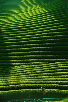 Plantation de thé, Kyoto, Japon
