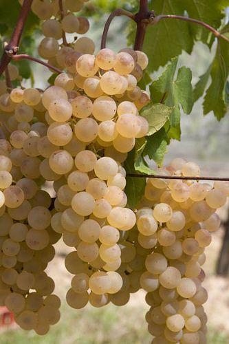 Uvas blancas...