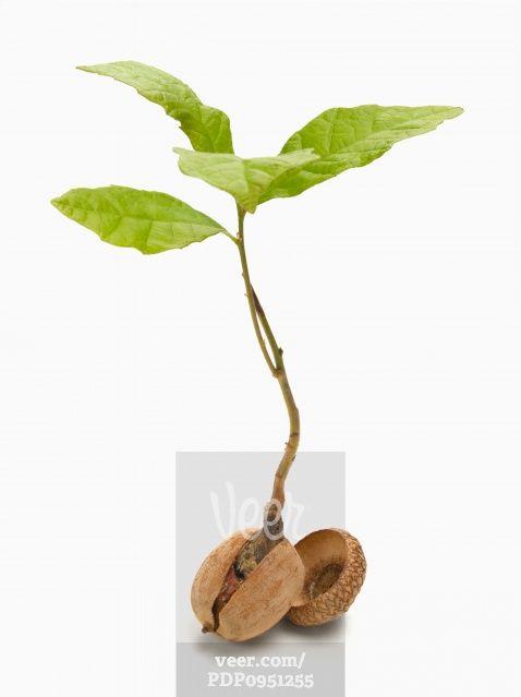 oak sapling - Google Search