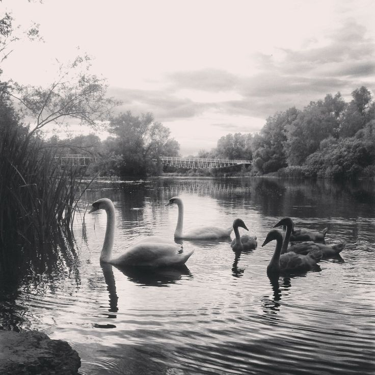A family of swans on the River Shannon in the University of Limerick