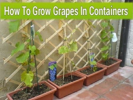 How To Grow Grapes In Containers #gardening #container