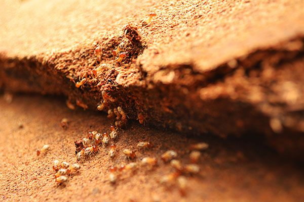 Most Destructive Types of Termites and Areas They Are Found | If you want to protect your home from termites, then it's important to know the different termite types of termites and the threats they pose your home.#TerminixBlog