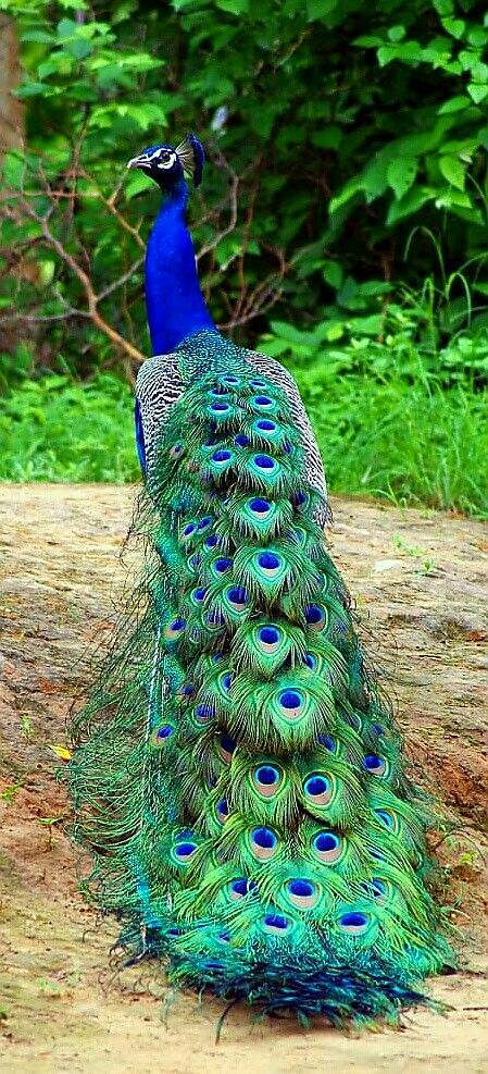 Peafoal - Indian Blue Peacock - photographer Dilip Khant