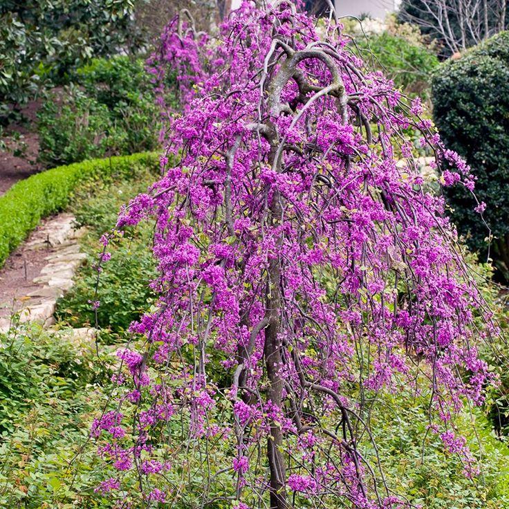 Cercis Canadensis Lavender Twist Eastern Redbud Weeping Eastern Redbud Dobbies Garden Centres Redbud Tree Ornamental Trees Flowering Trees