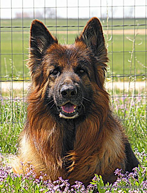 Nicoh German Shepherd