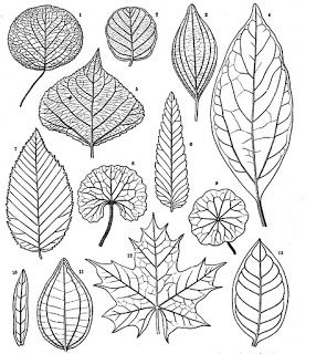 Botany Professor: How the grass leaf got its stripes-- These leave are nice and big so it will be easy to learn to draw any of them for your next tree art work.
