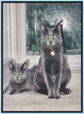 gatos azuis russos