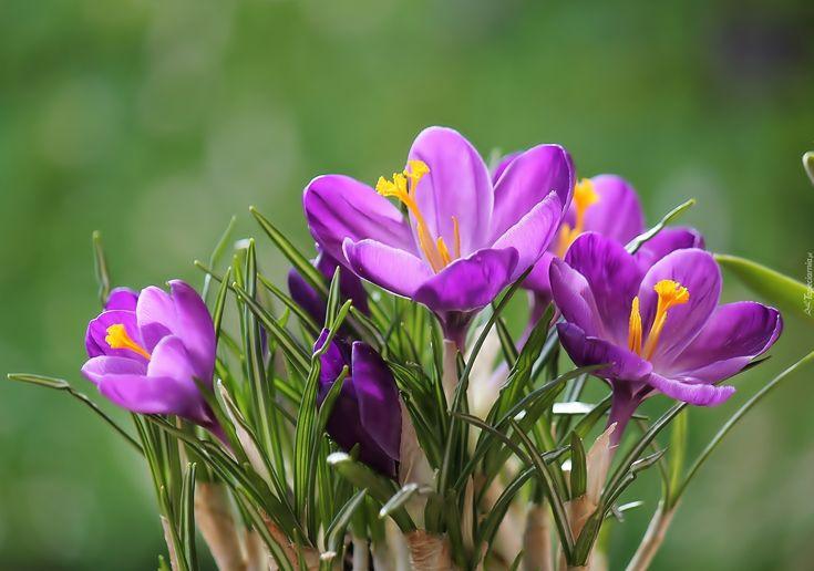 Kwiaty, Krokusy