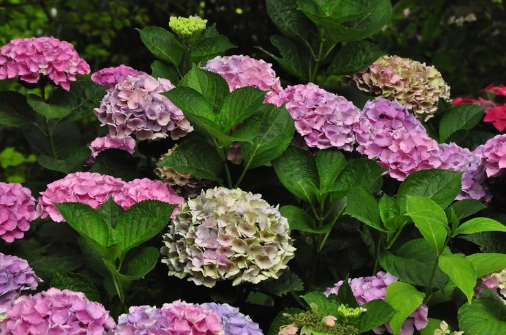 Beautiful Hydrangea macrophylla 'Xian' - China City serie - Copyright Dirk Staels  -  Dirk Staels - Google+