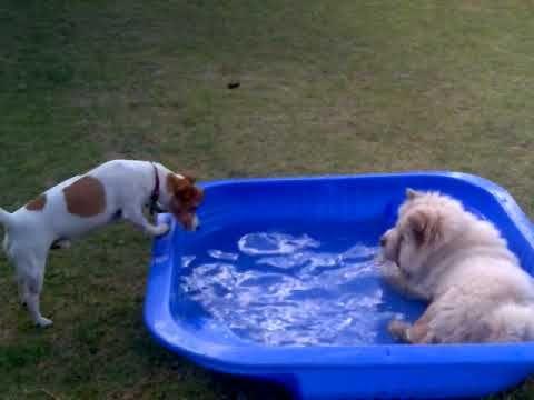 Cody the Chow Chow Polar Bear/Dog