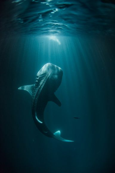 Photograph by Thomas P. Peschak  Fishermen's lights attract plankton, and plankton attract young whale sharks in Djibouti's coastal waters. In 2008 the United Arab Emirates banned whale shark fishing—a sign of growing awareness of the importance and vulnerability of Arabia's seas.