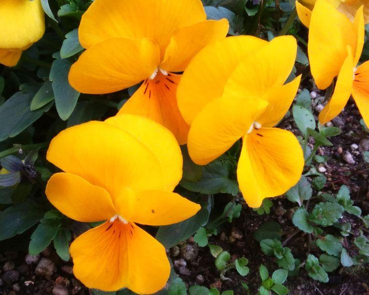 3月15日の誕生花のひとつ「パンジー」。 今日お誕生日を迎えられた皆様、おめでとうございます!(*゚▽゚ノノ゙☆パチパチ #パンジー #誕生花 #3月15日 #花 #植物 #春 #オレンジ #pansy #birth #flower #plants #spring #orange