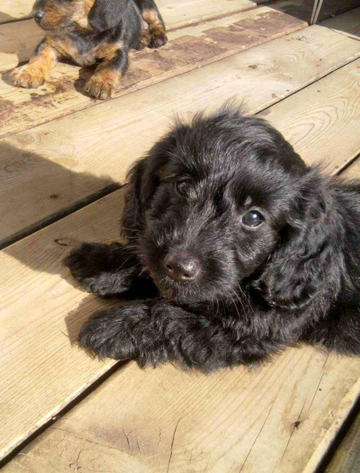 Doxiepoo (Dachshund-Toy Poodle Mix) Facts, Temperament ...