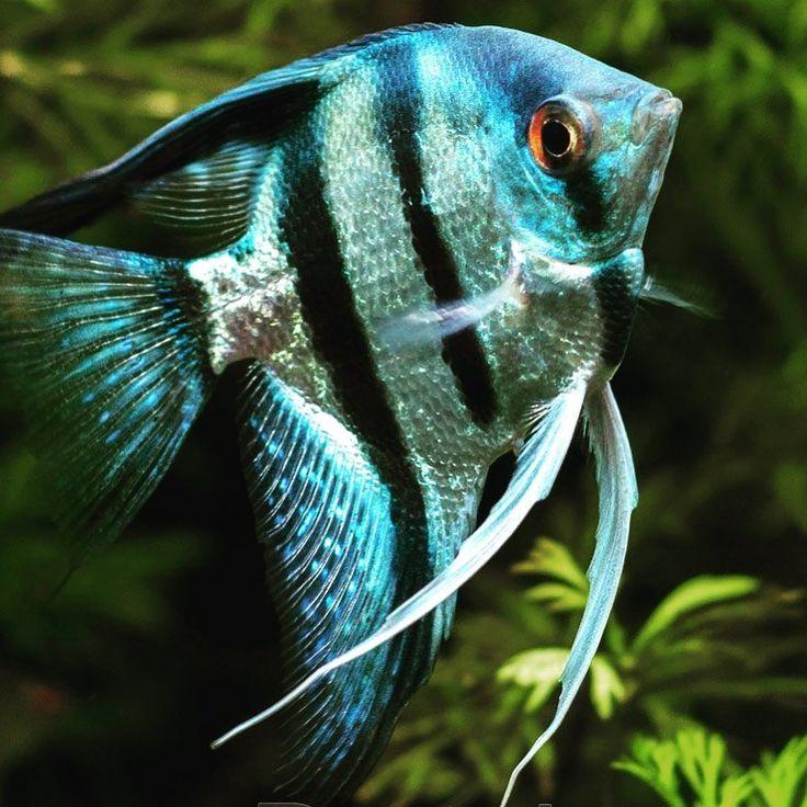 Beautiful Philippine Blue Angelfish   Aquarium fish, Angel ...