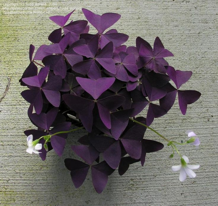 full size picture of purple shamrock francis oxalis triangularis this makes an awesome indoor plant when the light gets behind it it looks amazing - Flowering House Plants Purple