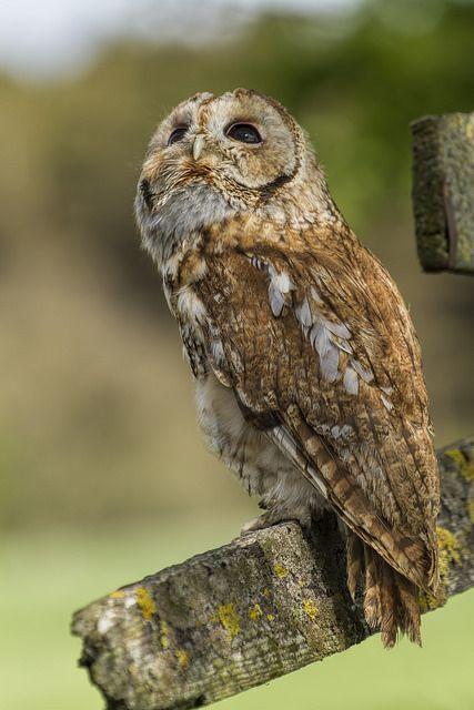 cloudyowl:  Tawny Owl by Dazzlin D