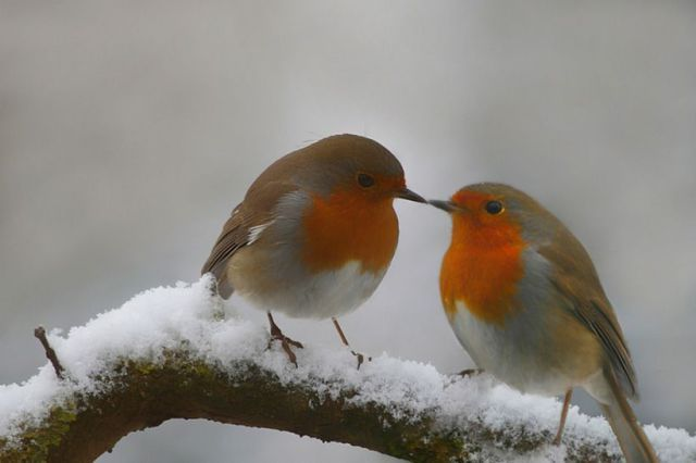 Robins.  http://www.funnycutepics.com/tag/robin-red-breast/