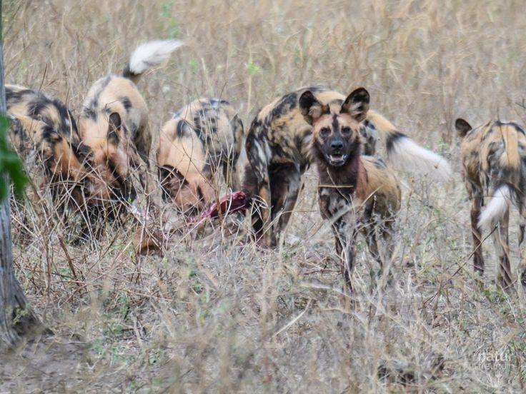 Eine Fotosafari in Botswana ist ein unvergessliches Erlebnis.   Außergewöhnlich ist, dass du die Tiere sowohl im Wasser als auch auf dem Land erleben kannst.