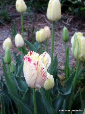 Just A Second: Wordless Wednesday - Canada 150 Tulips